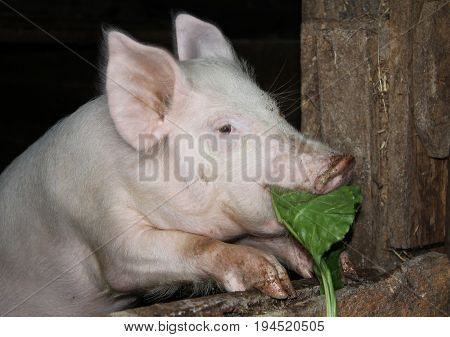 White Pig Standing On Hind Legs In A Barn And Eating Burdock