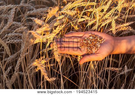 top view on handful of wheat grains in female palm on wheat field background. harvest, agriculture, agronomics, food, production, organic concept.