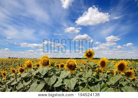 The sunflowers field and clouds in Ukraine