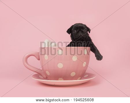 Black pug puppy facing the camera hanging over the edge of a pink and white dotted cup and saucer on a pink background