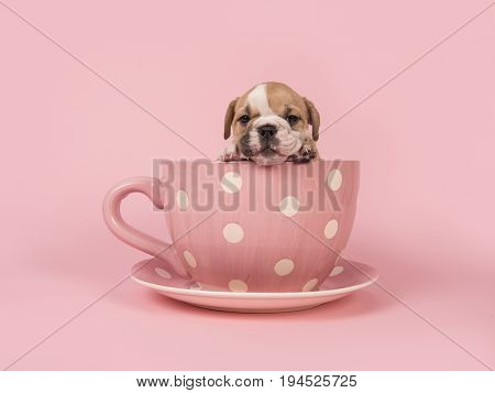 English bulldog puppy facing the camera hanging over the edge of a pink and white dotted cup and saucer on a pink background