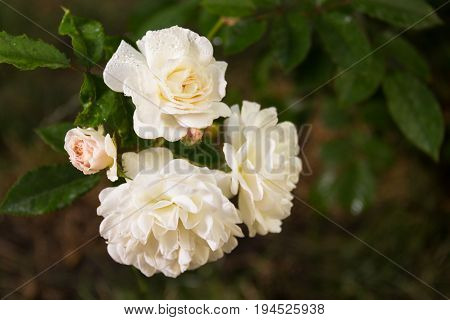 Branch with white roses with drops of dew on a background of green grass. White roses with dew on a natural background.