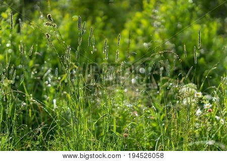 Green, green grass, shiny from dew, summer morning after a raining. Concept of freshness and novelty, nature, eternal spring, environmental and ecology. For background and wallpaper