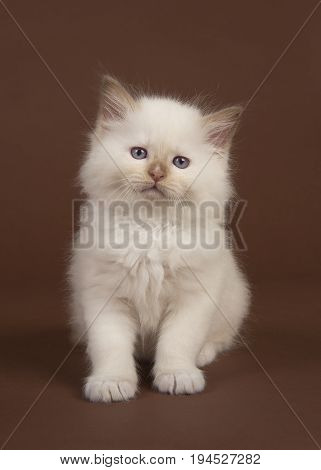 Adorable 6 weeks old rag doll baby cat with blue eyes looking at the camera sitting on a brown background