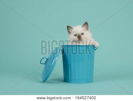 Cute 6 weeks old rag doll baby cat with blue eyes hanging over the edge of a blue trashcan on a turquoise blue background