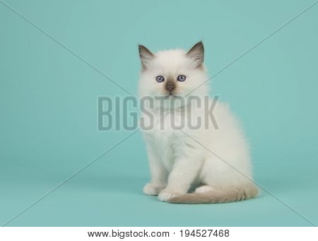 Cute sitting baby rag doll cat facing the camera on a blue turquoise background