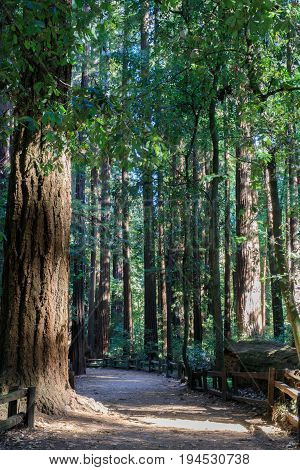 Redwood Path. Henry Cowell Redwoods State Park, Santa Cruz County, California, USA. poster