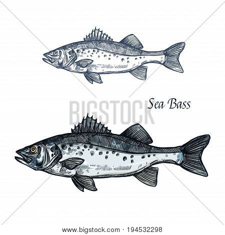Sea bass fish sketch of marine animal with sharp fin and gray scales with dark spots. Saltwater predatory fish isolated icon for seafood restaurant, fish market label, fishing sport symbol design