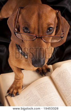 dog  Dachshund in glasses close-up