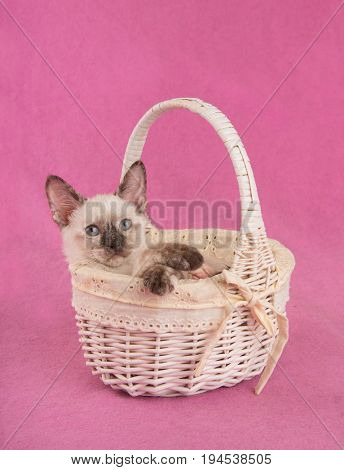 Precious tortie point Siamese kitten in an off white basket, looking up to the right of the viewer, against pink background