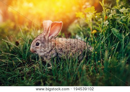 Little rabbit on the grass farm of pets. Sunset