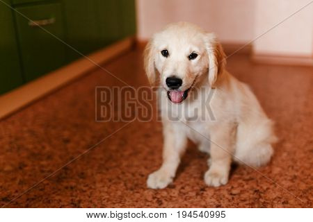 young puppy of a Golden Retriever Labrador retriever performs a command to sit and smiles. Concept of the dog at home, training.
