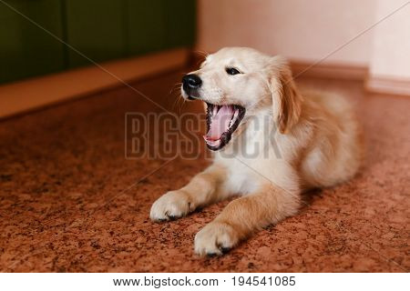 young Golden Retriever labrador puppy performs the command of lying and yawning. Concept of the dog at home, training.
