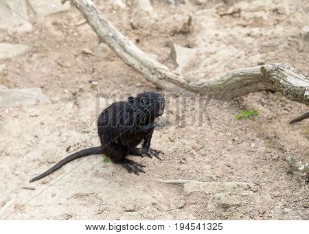 Young black rat muskrat waterfowl wet hair standing on their hind legs waiting for meal requests