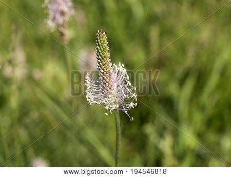 Goose grass. Plantain flower. Wildflowers on blur green background