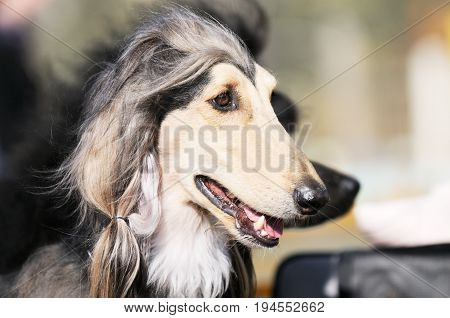 Afghan borzoi dog outdoors horizontal portrait over blurry background