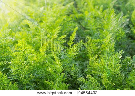 Background of the field with green tops of carrot on the sunset at summer at shallow depth of field