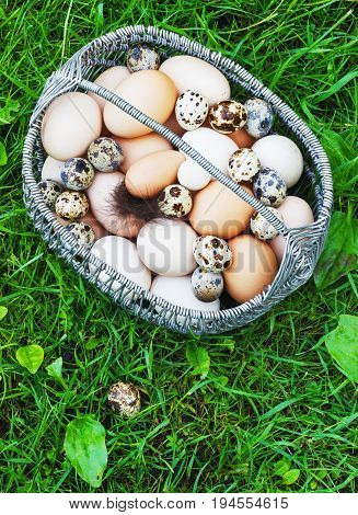White and brown painted chicken eggs in a metal basket in a garden