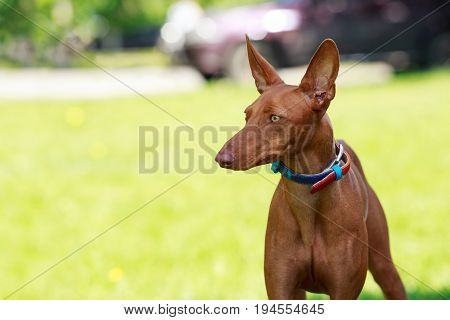 The Pharaoh Hound on background green grass