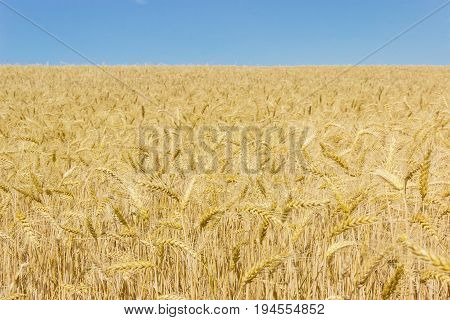 Field of the ripe wheat on the background of the clear sky at summer day