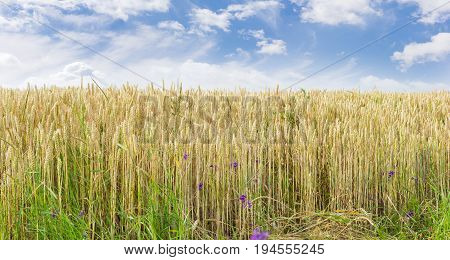 Panorama of the edge of the field of the ripening wheat on the background of the sky with clouds at summer day