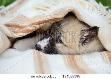 Portrait Of Cute Siberian Laika On The Blanket