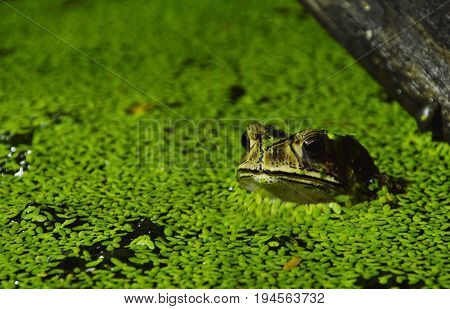 toad soak in water for relaxing on night