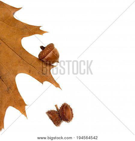 Autumn Leaf Of Oak And Acorns