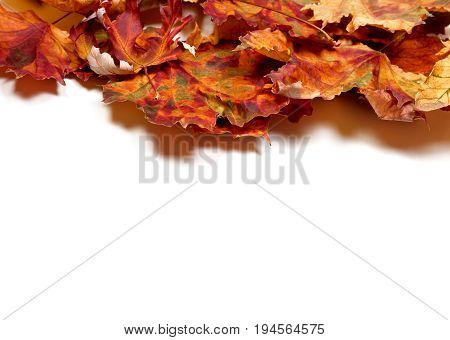 Autumn Dry Multicolor Maple Leafs