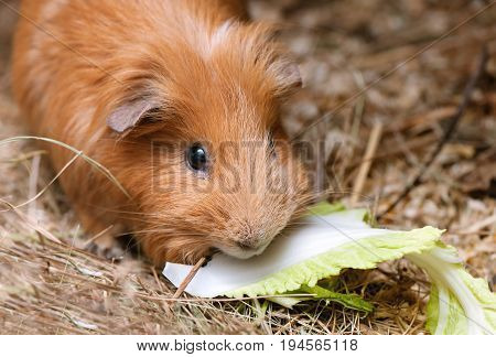 Portrait of red guinea pig eating cabbage.