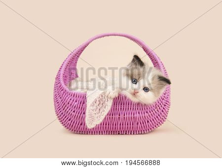 Cute 6 weeks old rag doll baby cat with blue eyes hanging over the edge of a pink basket on a off-white background
