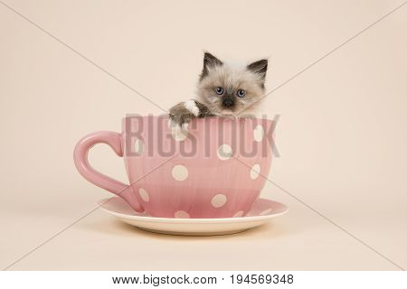 Cute 6 weeks old rag doll baby cat with blue eyes hanging over the edge of a pink and white dotted cup and saucer and a off-white background