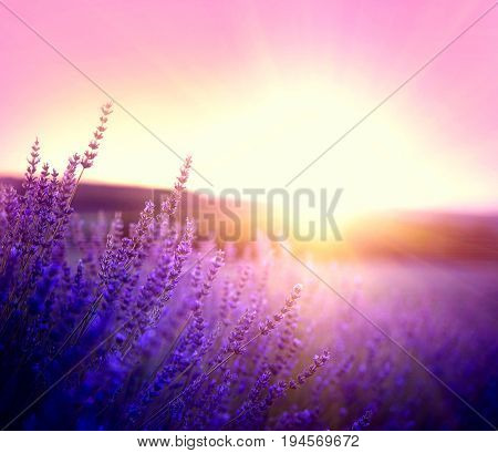 Lavender field in Provence, France. Blooming Violet fragrant lavender flowers. Growing Lavender swaying on wind over sunset sky, harvest.