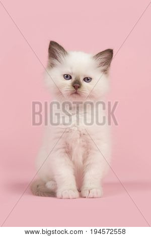 Cute 6 weeks old rag doll baby cat with blue eyes looking at the camera sitting on a pink background