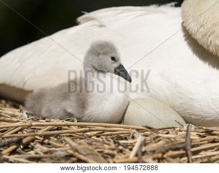 Cygnet and egg in the nest together in front of an adult swan
