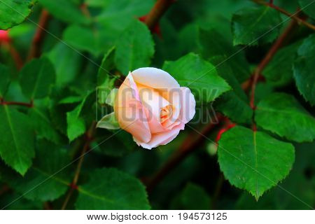 Orange and yellow roses in the garden. Delicate Rosebuds. Glowing bright orange roses. Caring for garden roses. Rose Bush
