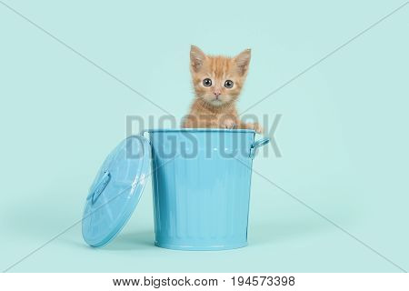 Red ginger 8 weeks old baby cat in a blue dustbin on a turquoise blue background