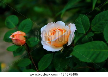Orange and yellow roses in the garden. Delicate Rosebuds. Bright orange roses. Caring for garden roses. Rose Bush