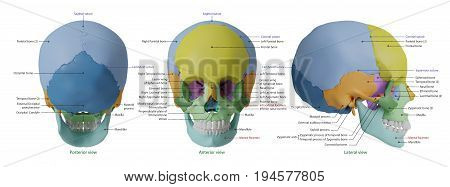 Anatomy of human skull high resolution with specific bone information : 3D Rendering