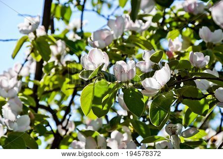 Quince blossom. Cydonia oblonga flowers. Spring fruit blossoming fruit tree. March april or may background. Bloom on blue sky background. Countryside nature photo.