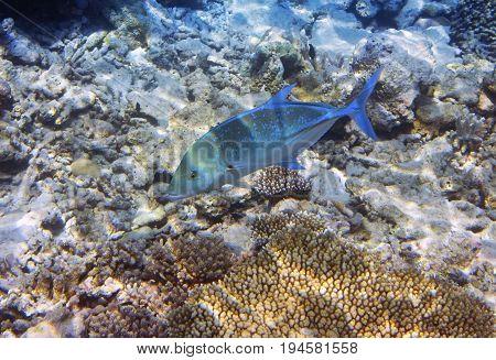 Jack fish (Caranx lugubris) over a coral reef the Indian Ocean