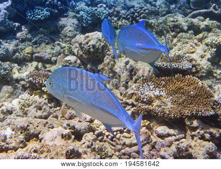 Jack fish -Caranx lugubris Underwater landscape in a sunny day