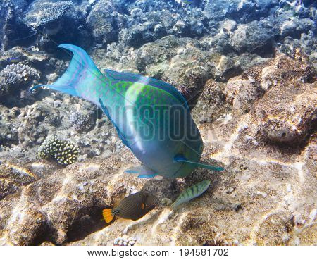 Fishes in corals. Maldives. Indian ocean. (scarus parrot fish)