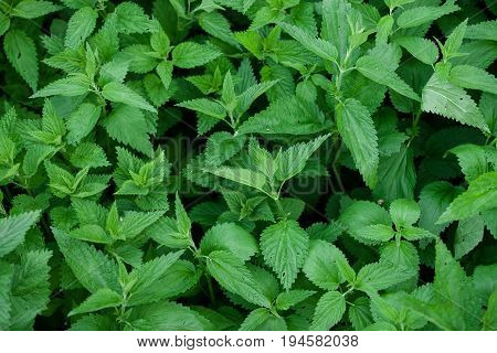 Green fresh nettle background. Stinging nettles with leaves covered with fine hairs that sting.
