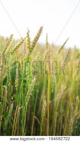 Ears Of Rye And Wheat Growing
