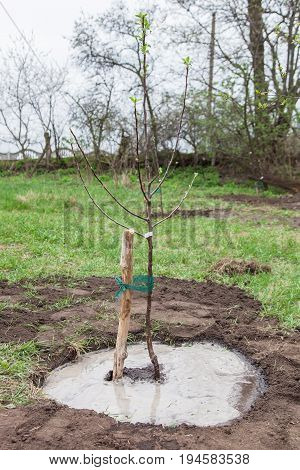 Fruit tree seedling planted in the ground and pour water gardening step by step guide