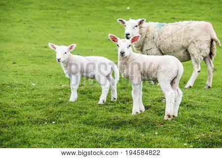 Sweet lambs dwelling in the green beautiful Scottish fields