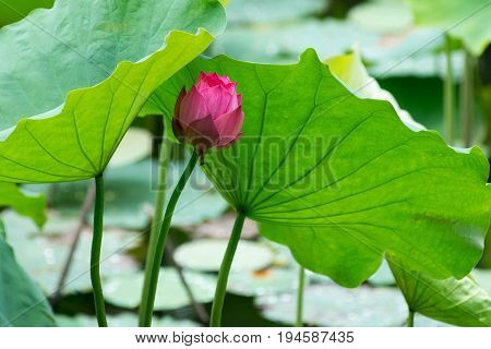 Pink waterlily lotus with green leaves in a pond