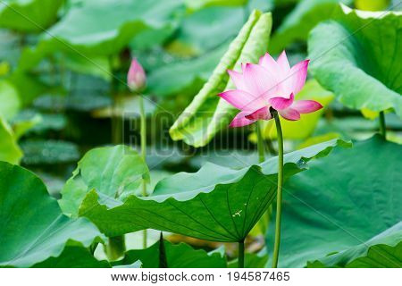 Pink blooming waterlily surrounded by green leaves in a pond