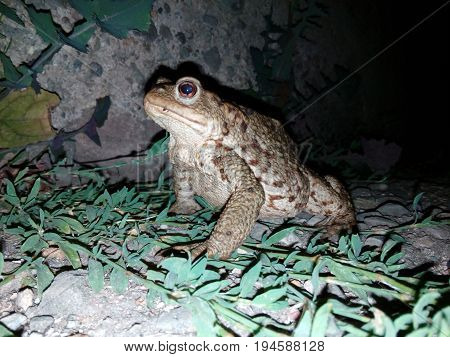 Serbia Old mountine's frog photo taken on one summer night